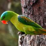 Большеклювые попугаи - редкий вид