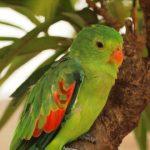 Дятловые попугайчики - особенности вида