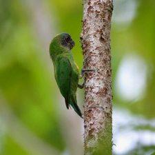 Дятловые попугайчики - самые маленькие попугаи