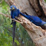 Гиацинтовый попугай ара - описание вида