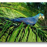 Гиацинтовый попугай ара - поддается дрессировке