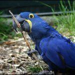 Гиацинтовый попугай ара - содержание