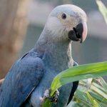 Голубой ара - игривый вид