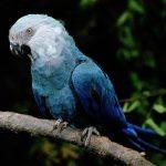 Голубой ара - описание вида