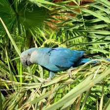 Голубой ара - особенности вида