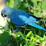 Голубой ара - смелый вид
