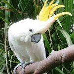 Какаду большой желтохохлый - красивая порода