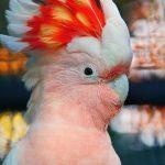 Какаду-инка - недоверчивая порода