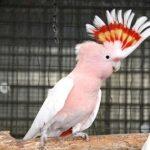 Какаду-инка - особенности породы