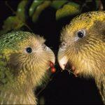 Какапо - нелатающий попугай