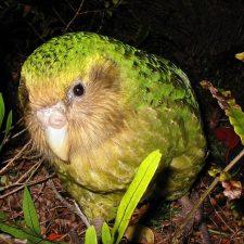 Какапо - совиный попугай