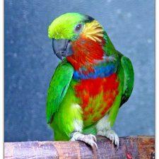 Карликовые попугаи - активный вид