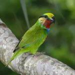 Карликовые попугаи - дикий вид