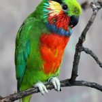 Карликовые попугаи - особенности вида