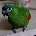 Карликовый ара - любознательный вид