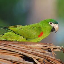 Карликовый ара - описание вида