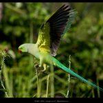Кольчатый попугай - особенности вида