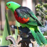 Краснокрылый попугай - спокойный вид