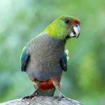 Красношапочные попугаи - дикий вид