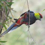 Красношапочные попугаи - описание вида