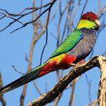 Красношапочные попугаи - особенности вида