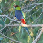 Красношапочные попугаи - плохо обучаем речи
