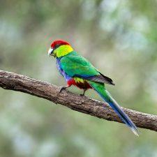 Красношапочные попугаи - уход