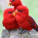 Красные лори - дружелюбная порода