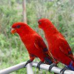 Красные лори - умная порода