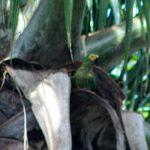 Красный попугай ара - описание вида
