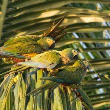 Красный попугай ара - особенности вида