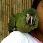Красный попугай ара - робкий вид