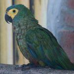 Красный попугай ара - содержание