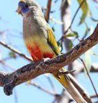 Кровавобрюхие плоскохвостые попугаи - птица среднего размера