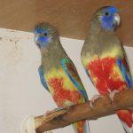 Кровавобрюхие плоскохвостые попугаи - содержание