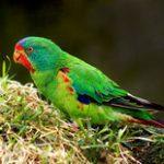 Ласточковый попугай - красивый вид
