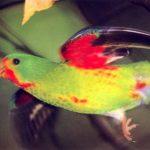 Ласточковый попугай - описание вида