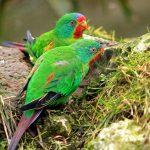 Ласточковый попугай - особенности вида