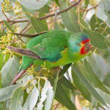 Ласточковый попугай - редкий вид