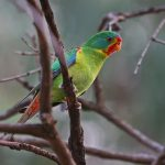 Ласточковый попугай - содержание