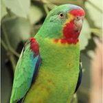 Ласточковый попугай - спокойный вид
