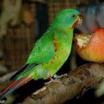 Ласточковый попугай - уход