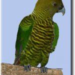 Ленточный попугай - экзотический вид