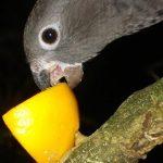 Малый попугай ваза - дружелюбный вид