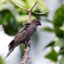 Малый попугай ваза - игривый вид