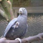 Малый попугай ваза - необычный вид