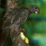 Малый попугай ваза - описание вида