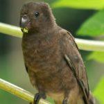 Малый попугай ваза - особенности вида
