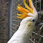 Малый желтохохлый какаду - дружелюбная порода