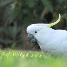 Малый желтохохлый какаду - неприхотливая порода